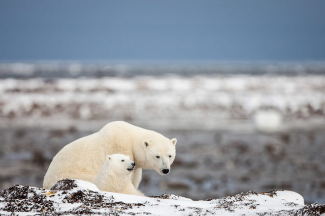 Polar bears in the Arctic wild.