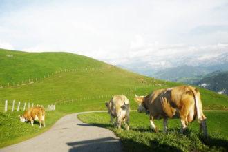 farm cheese dairy switzerland