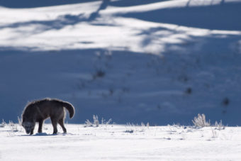 Yellowstone National Park USA wolves
